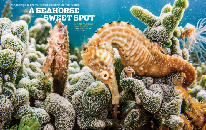 The cover image for the story from the UT Journal on seahorses